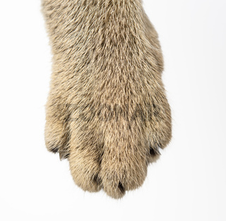paw of a gray kitten on white background