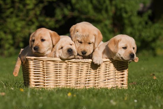 vier Labrador-Welpen im Korb