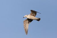 adult bird Glaucous Gull flying in clear sky
