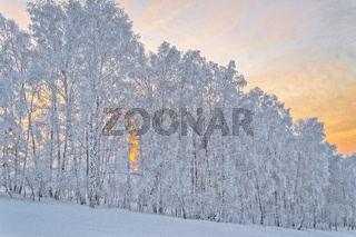 Birch trees with hoarfrost covered on a slope of hill in gentle morning light