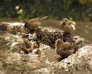 Birds taking a bath.