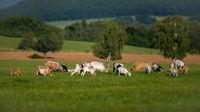 Domestic goats grazing on green meadow near bio farm in summer.