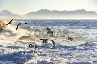 Seagull flying at dawn over the sea