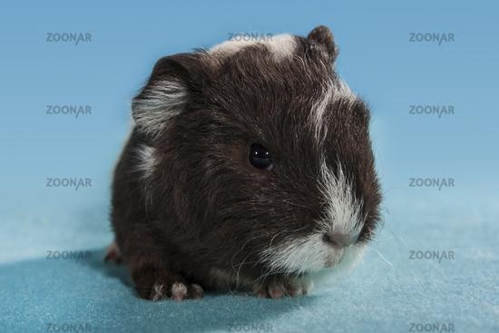 Foto Meerschweinchen Baby Braun Weiss Bild 5087198