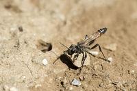 Weibchen der Südlichen Grabwespe (Prionyx kirbii) beim Verschliessen des Nesteingangs