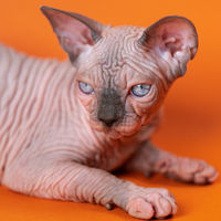 Young Canadian Sphynx Cat of blue mink and white color lying on orange background. Close-up