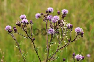 Blüten und Blätter der Acker-Kratzdistel