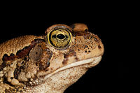 Portrait of a guttural toad (Amietophrynus gutturalis) isolated on black