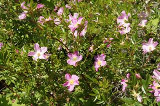Rosa nitida, Glanzrose, Shining rose