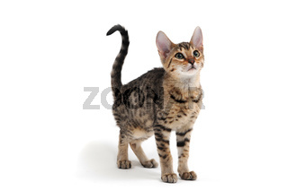 Purebred smooth-haired kitten on a white background