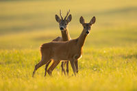 Two roe deer looking on sunny field in summer nature