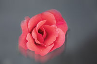Close-up of a red rose flower on a blurred gray background with reflection.