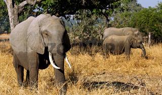 Elefanten im South Luangwa Nationalpark, Sambia; Loxodonta africana; Elephants at South Luangwa National Park, Zambia