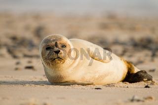 Europaeischer Seehund (Phoca vitulina vitulina)