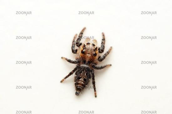 Dorsal of Jumping spider, Hyllus semicupreus, Salticidae, Lonand, Maharashtra, India