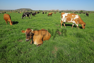 Dairy cows grazing and resting on lush green pasture of a rural farm