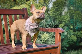 Französische Bulldogge Hund mit rosa Halstuch