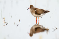 Common redshank with reflection on surface of water