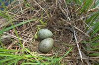 Common Gull nests