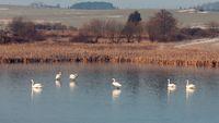 White swan on the frozen pond.