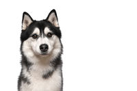 Portrait of a siberian husky looking at the camera on a white background