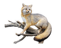Red fox on a branch on white background
