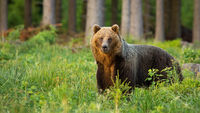 Brown bear standing in forest inside summer nature in sunlight