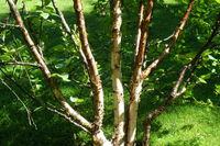 Betula pubescens ssp. czerepanovii, Finnische Moorbirke, mountain birch
