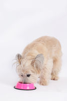 Cute small dog eats from pink bowl