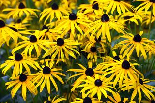 Gewoehnlicher Sonnenhut oder Leuchtender Sonnenhut (Rudbeckia fu