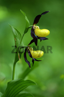 Frauenschuh, Cypripedium calceolus