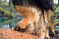 two-hundred-year-old tree is gnawed by beavers