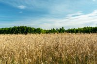 Triticale field and green trees, clouds on the sky
