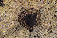 Macro close-up of tree rings and resin in Pine Forest