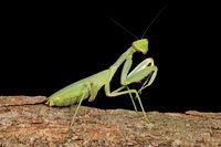Common green mantis (Sphodromantis gastrica) on a branch