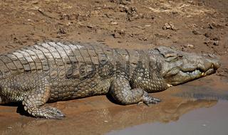 Nilkrokodil im Luangwa Fluss, South Luangwa Nationalpark, Sambia; crocodile in Luangwa River, Zambia, Crocodylus niloticus