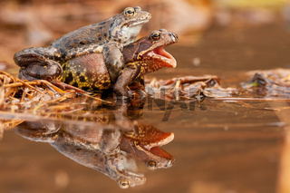 Two common frog mating in pond in springtime nature