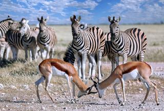Kämpfende Springböcke, Etosha, Namibia, Antidorcas marsupialis, fighting Springboks, Namibia