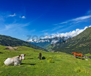 Serene peaceful landscape background - cows grazing on alpine meadow in Himalayas mountains. Himachal Pradesh