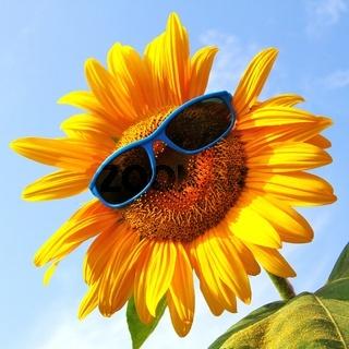 lustige Sonnenblume mit Sonnenbrille