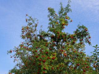 Sorbus aucuparia Edulis, Essbare Eberesche, Eatable rowan
