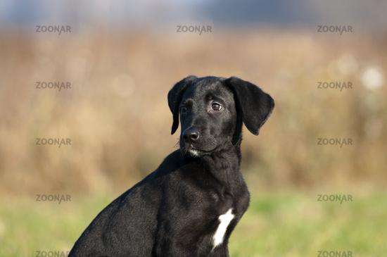 sehr junge Doggen-Mischling, Hund
