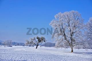 Winterlandschaft mit Apfelbaum von Misteln bewachsen