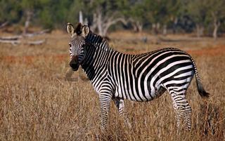 Zebra im South Luangwa Nationalpark, Sambia; zebra at South Luangwa National Park, Zambia