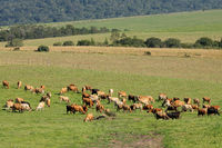 Dairy cows grazing on lush green pasture of a rural farm