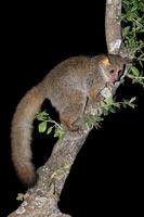Nocturnal greater galago or bushbaby (Otolemur crassicaudatus) in a tree