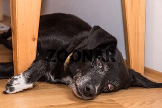 schwarzer Hund liegt entspannt am Boden - Nahaufnahme