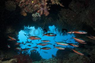 Schwarm Neon-Fuesiliere in Riffspalte, Fidschi