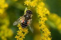 Garten-Keilfleckschwebfliege auf der Goldrute