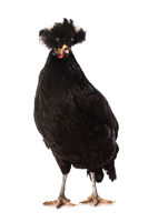 Black crested chicken isolated on white